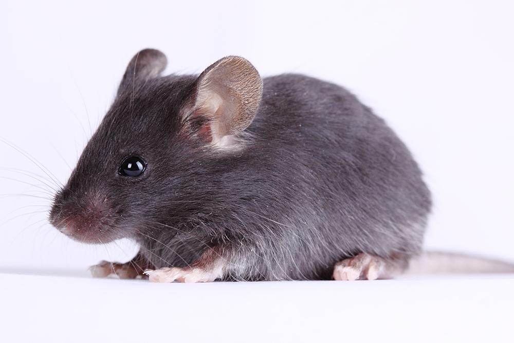 mouse-photo